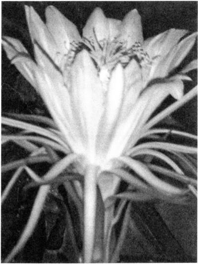 珍しい花 ドラゴンフルーツ