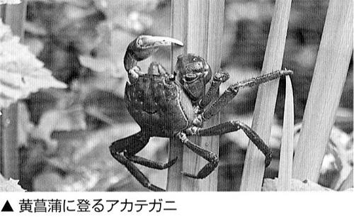 柿の木に、登る練習をするカニ