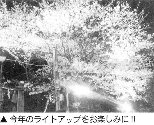 今年も「横浜八幡桜」ライトアップ